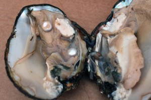 A freshly opened mussel with two cultured coin pearls visible. Photo by Brenda Smith.